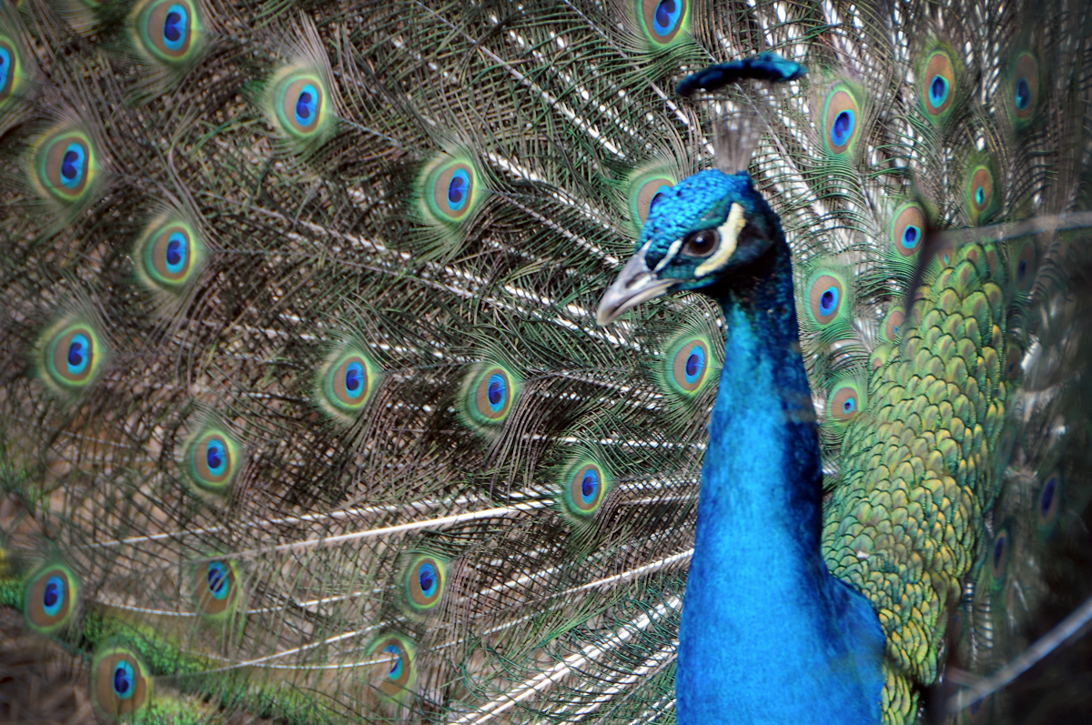 Photography by Gary Crossey - Peacock